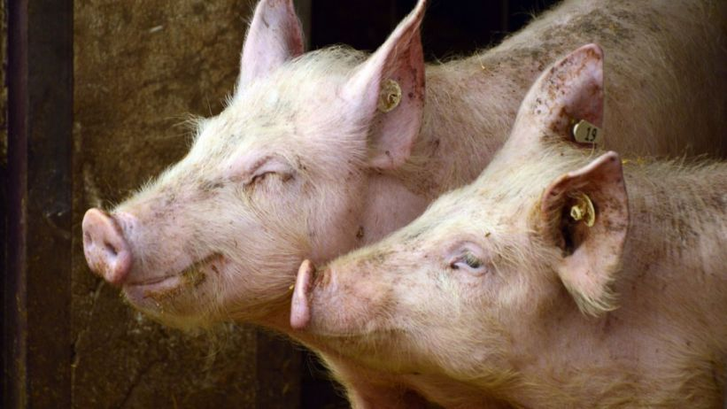 萊豬知多少? How Much Do You Know about Pork with Ractopamine?