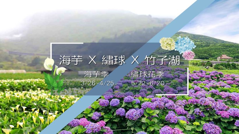 Calla Lily & Hydrangea festival 海芋 & 繡球花季